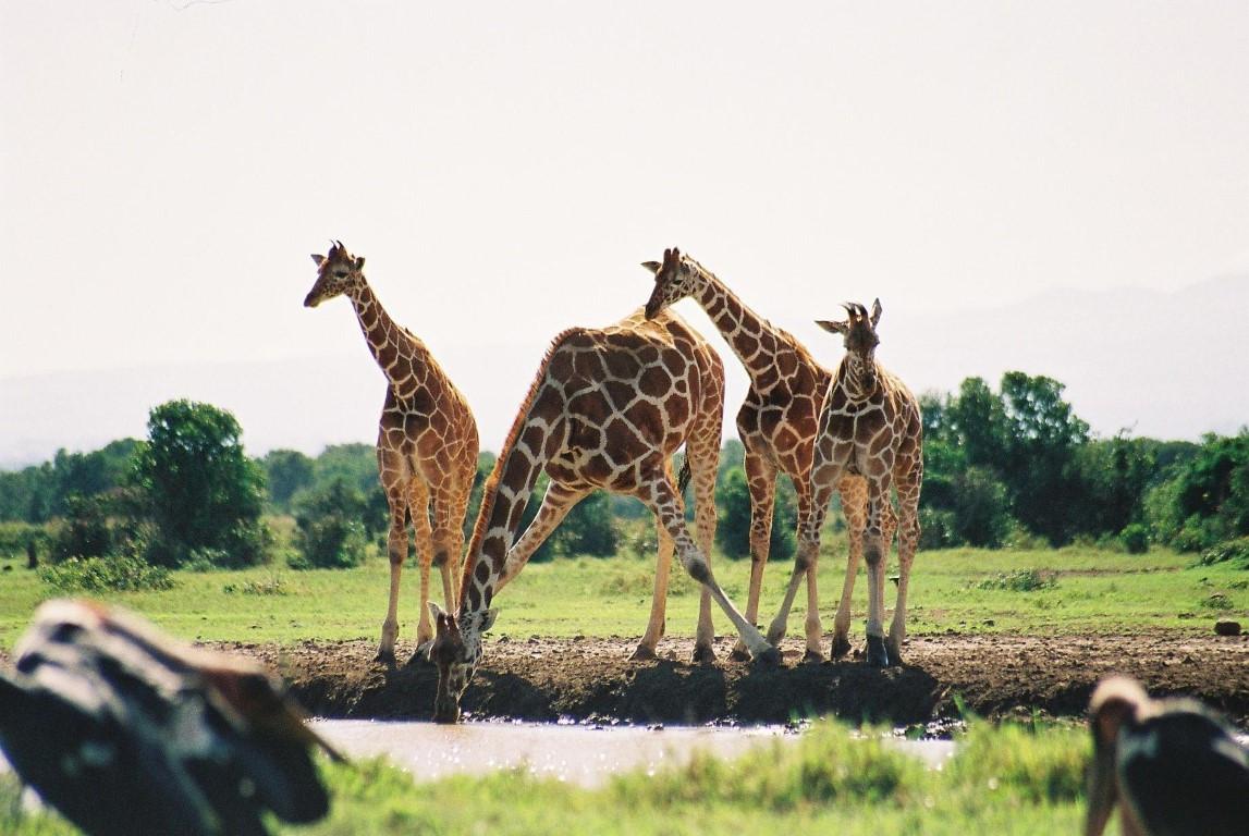 Giraffe 7 (Medium).JPG