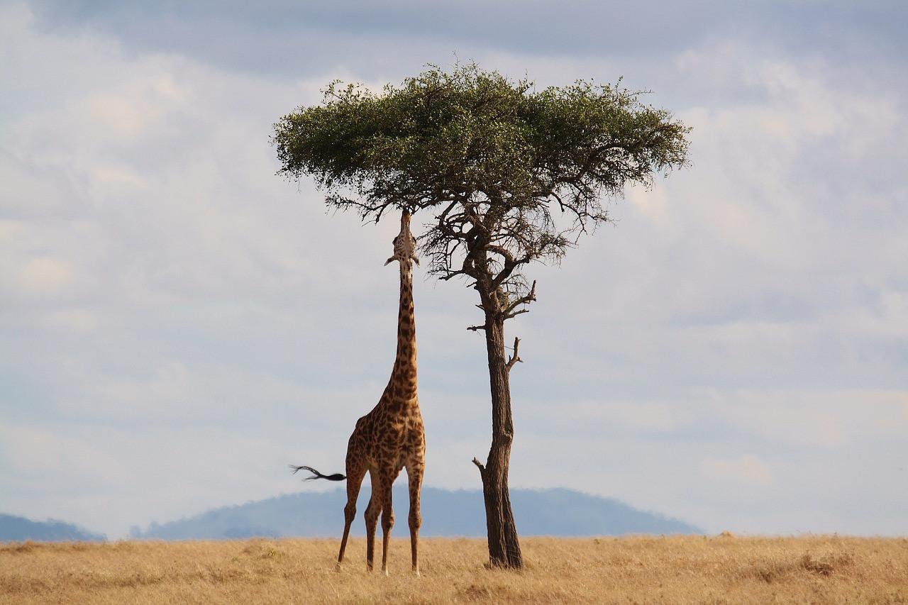 giraffe-2191662_1280.jpg