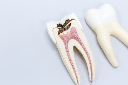 Tooth model for classroom education and
