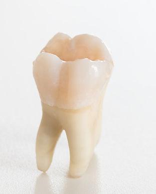 Real molar teeth.jpg
