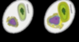 Cellular organization.png