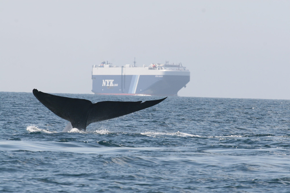 Whale fin above the water with a vessel in the background