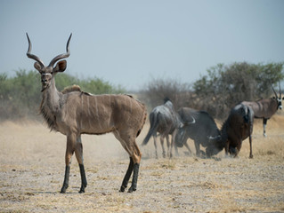 SPIRAL-HORNED ANTELOPE OF SOUTHERN AFRICA