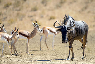 Hunting Blue Wildebeest in South Africa