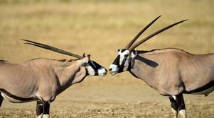 Hunting Gemsbuck in Africa
