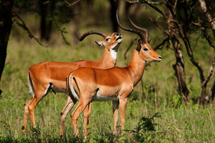 Impala Hunting in Africa