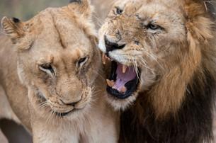 Hunt Lion in Africa