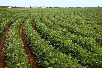 Soybean plant