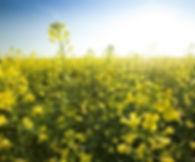 rapeseed plant