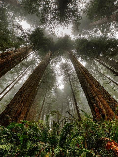 Sunlight streaming through the branches of towering Redwood trees