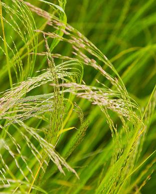 Field of teff grain in Ethiopia.jpg