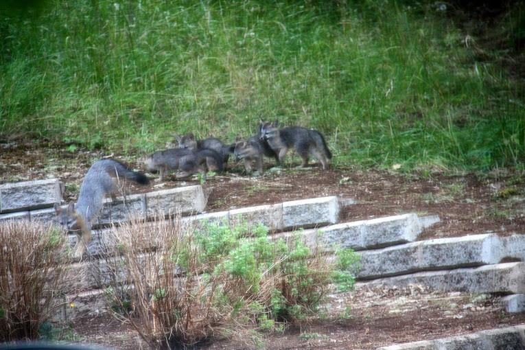 Gray Fox Family - Mrs. Fox and kits