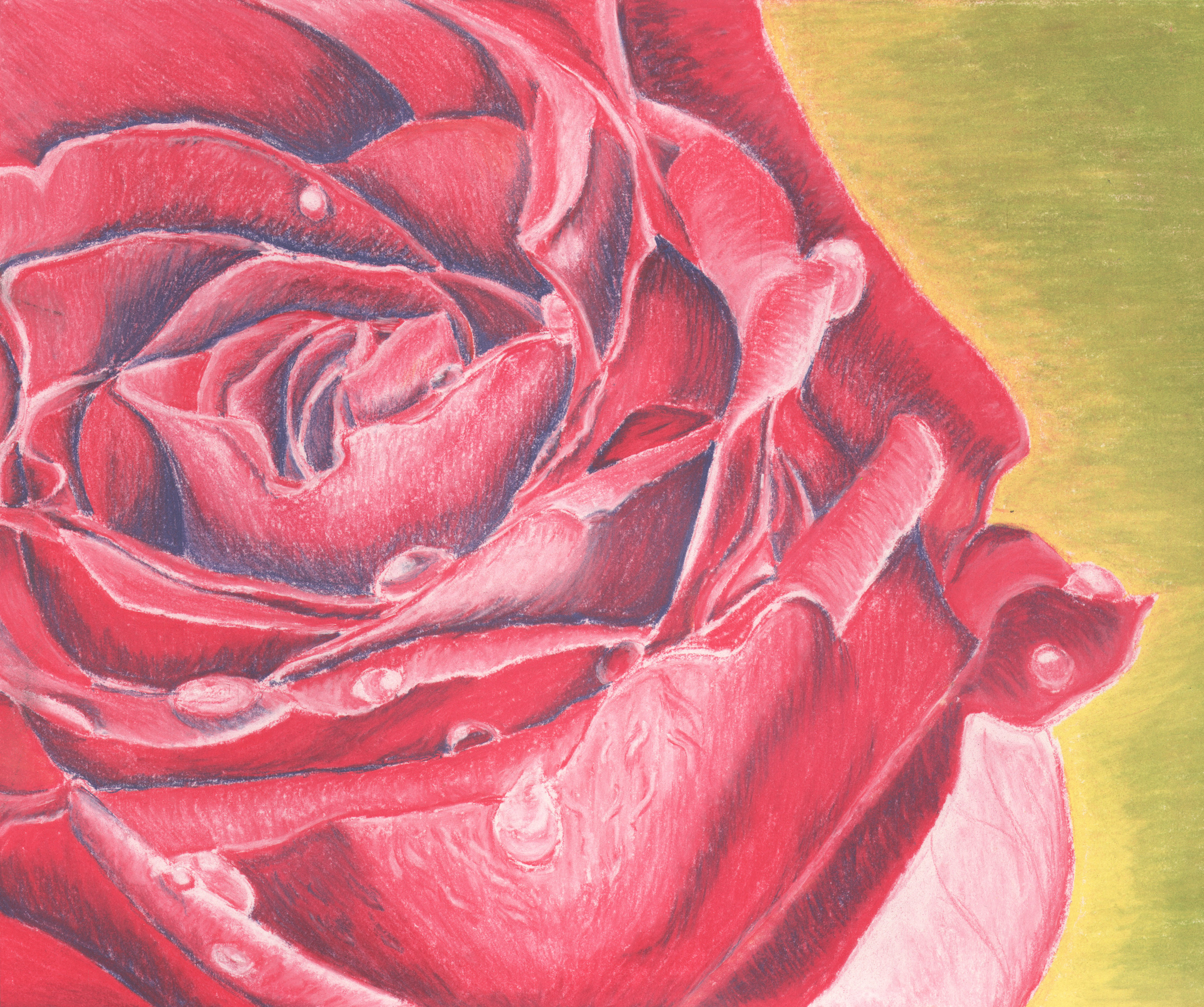 Close Up of Rose