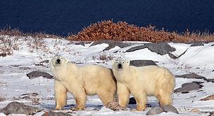 PolarBears_Still.jpeg