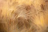 HEPPFOTOGRFAFIE-Getreide.jpg