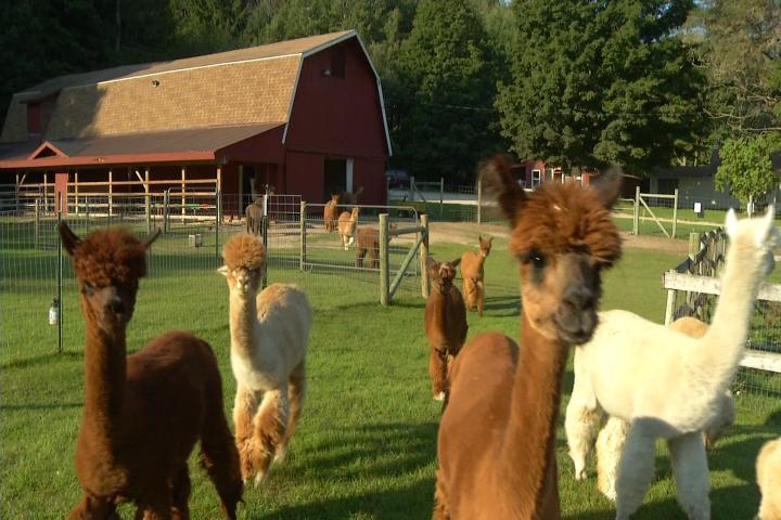 Crytal Lake Alpaca Farm