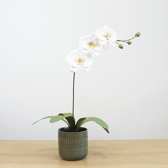 Phalaenopsis Orchid in White