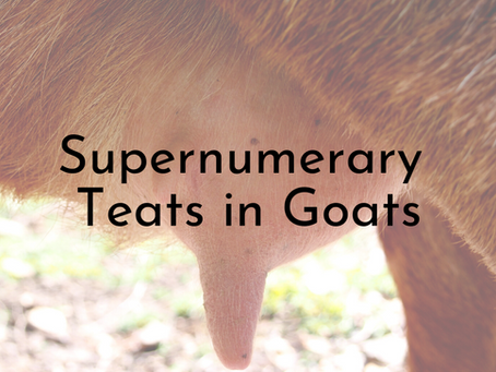 Udder Health Part Two - Supernumerary Teats in Goats