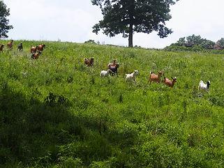 Goats Running Down the Hill.JPG