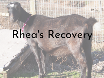 Rhea's Recovery - An Experience with a Probable Plant Toxicity