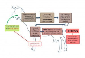 Negative-energy-balance-in-goats-300x204