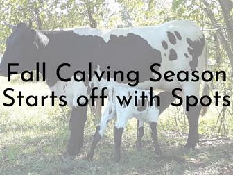 Fall Calving Season has Begun!