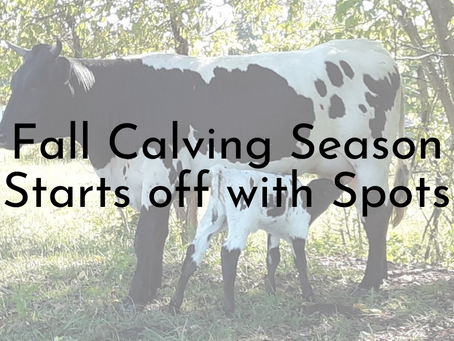 Fall Calving Season has Begun!