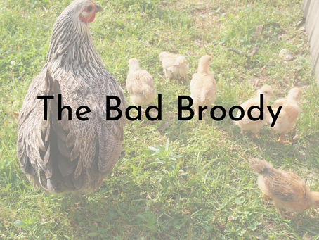 The Bad Broody