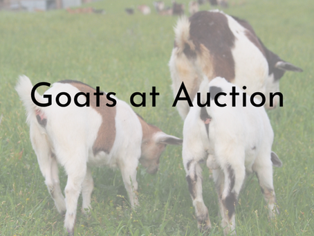 Goats at Auction