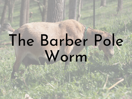 The Barber Pole Worm