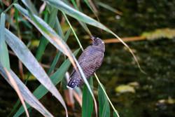 Кукушка обыкновенная (птенец)