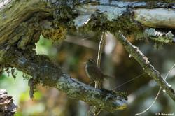 Крапивник