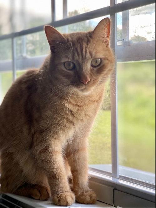 Cat Adoption Fee (Special) - Alanzo