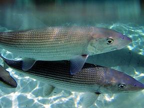 close up of bonefish.JPG