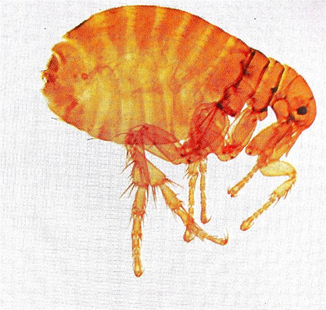 Flea (found photo)