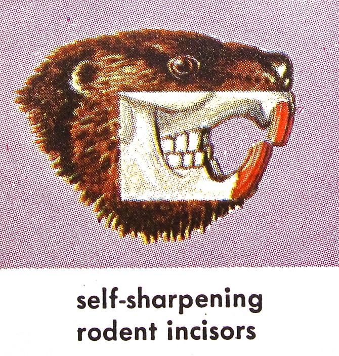 Self-Sharpening Rodent Incisors (illustration by James Gordon Irving)