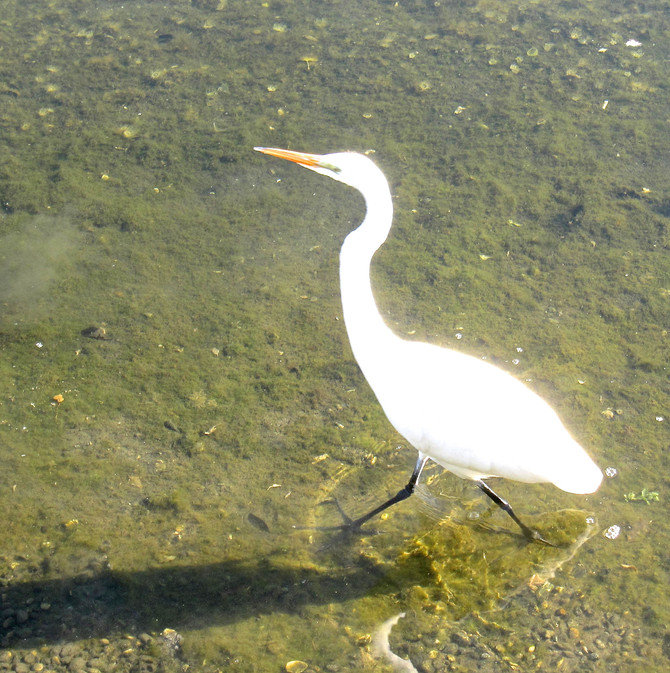 Egret, Venice Beach Canals, CA., 2012 (photo by Greg Colson)