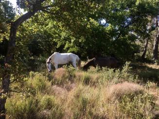 Arrow cheval barbe espagnol