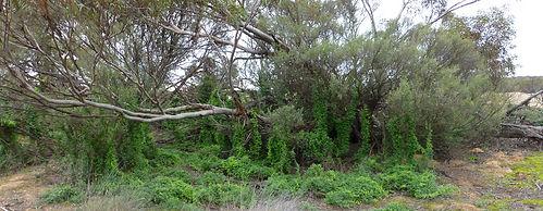Bridal creeper, biological control, leaf hopper