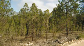 Determining the condition of Native Pine woodlands to plan for restoration