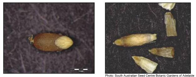Viable seed (left), non-viable seed (right)1.jpg