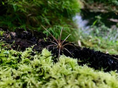 Bromelia en una raíz