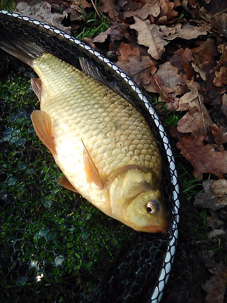 fisheries crucian.jpg