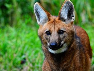 ESPECIAL: Lobo-guará, ameaçado na natureza e homenageado no dinheiro
