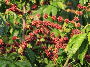 ESPECIAL: Embrapa é precursora da cafeicultura clonal no Amazonas