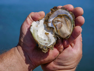 Oyster from Mali Ston Bay