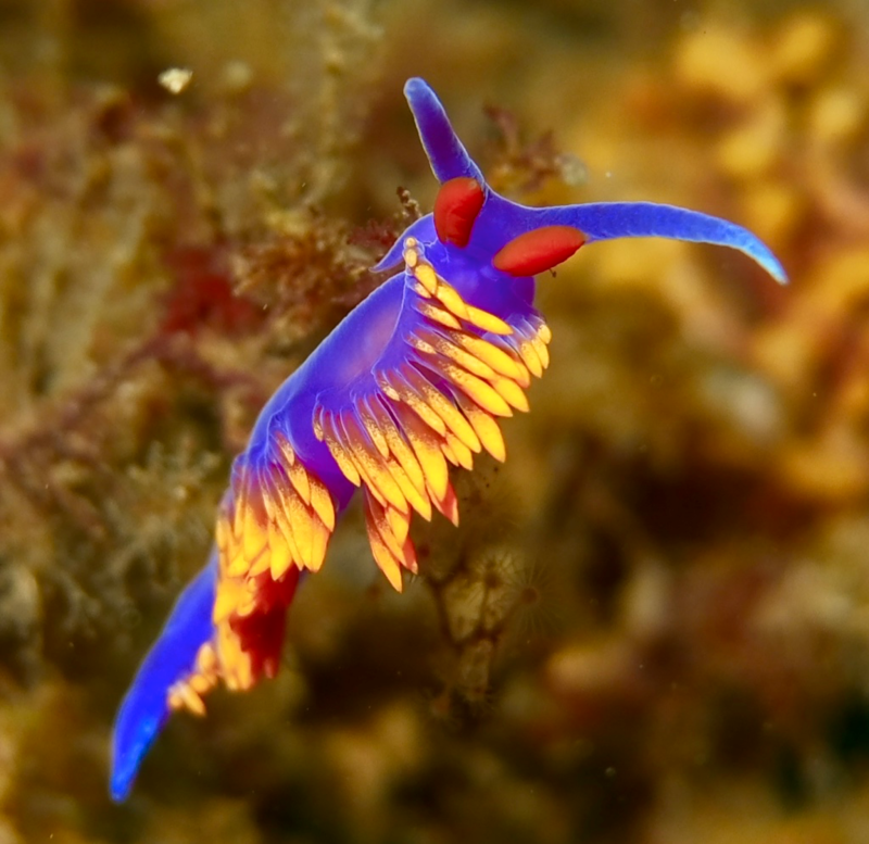Juvenile Spanish shawl nudibranch.png
