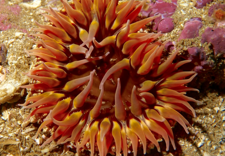 Brown anemone.png