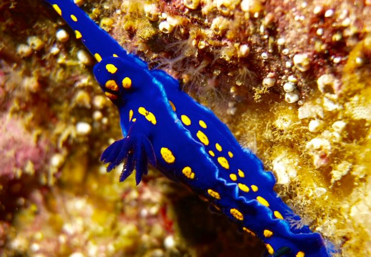 California blue dorid nudibranch.png