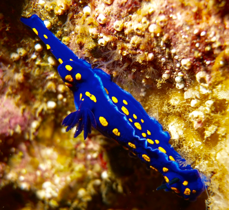 California blue dorid nudibranch.png